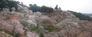 070408yoshinocherrypanorama