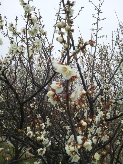 梅 UME blossom