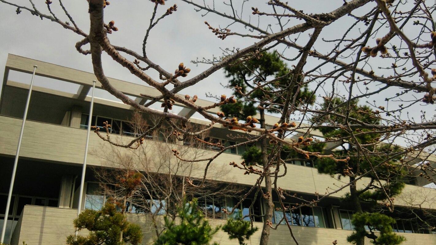 2017/3/22現在の芦屋川沿いの桜